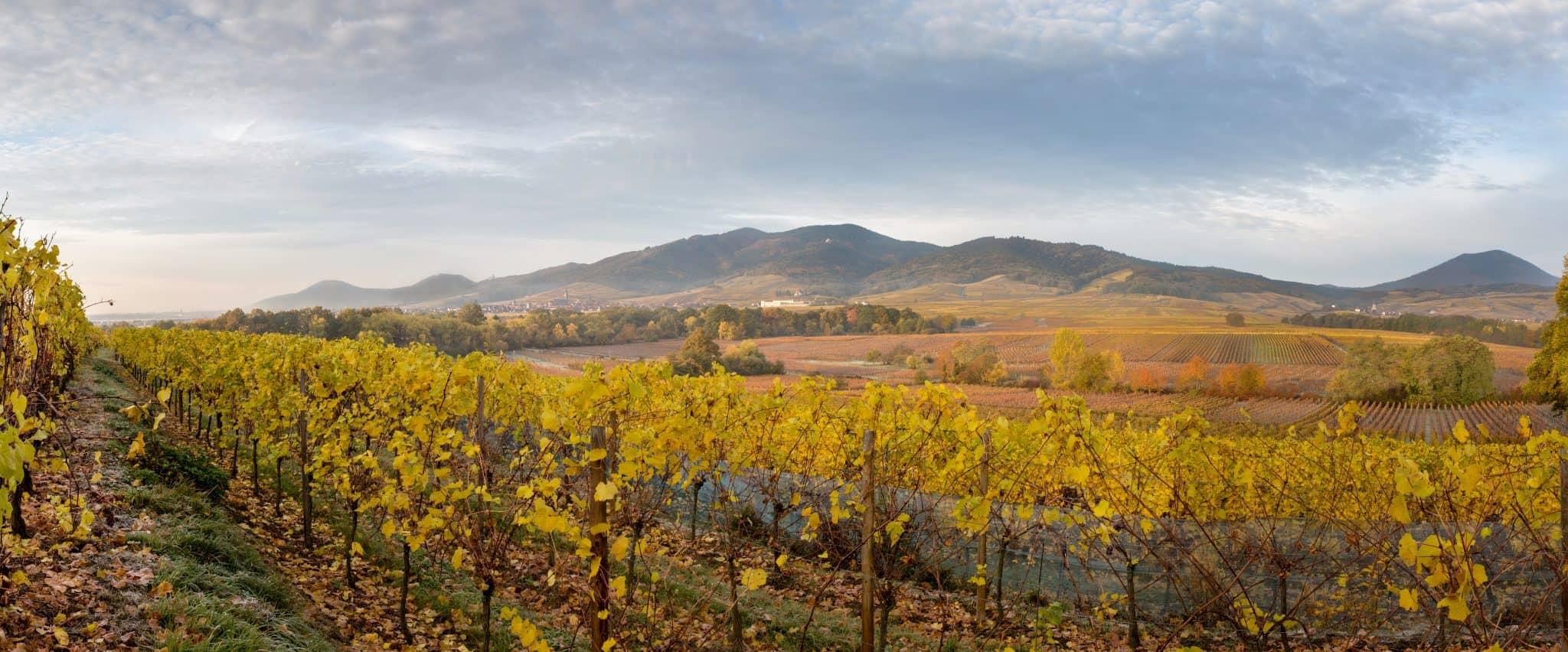 Vignoble-alsace-vins-vigne-cépages