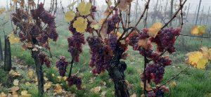 gewurtztraminer-Alsace-vendanges-tardives-vignes