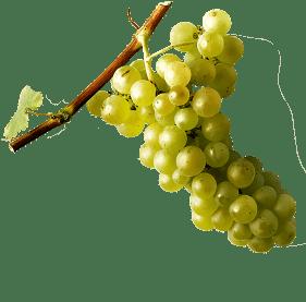 Alsace-muscat-blanc-7-cepages-alsaciens-raisins