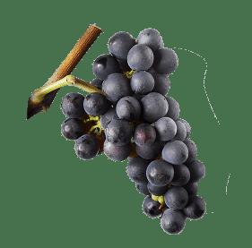 Alsace-pinot-noir-7-cepages-alsaciens-raisins