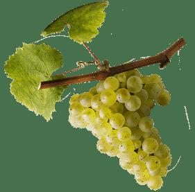 riesling-alsace-7-cepages-alsaciens-raisins